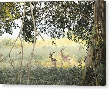 Impala Canvas Print by Patrick Kain