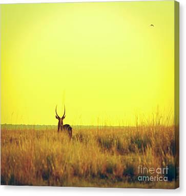 Impala Sunset Vintage Print Canvas Print by Tim Hester