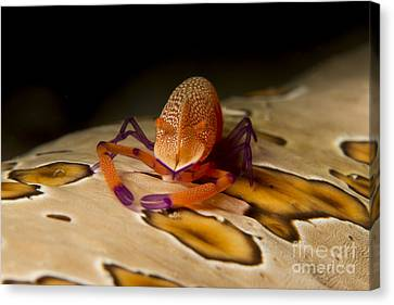 Imperial Shrimp On Beige Spotted Sea Canvas Print by Mathieu Meur