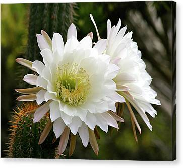 Canvas Print featuring the photograph Cactus Blossoms by Melanie Alexandra Price