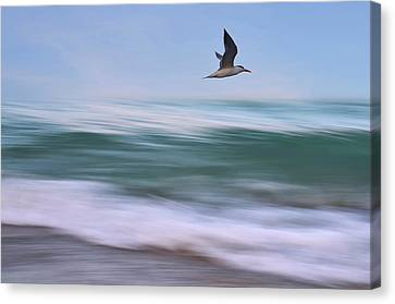 Flying Gull Canvas Print - In Flight by Laura Fasulo