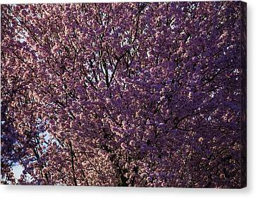 In Full Bloom Canvas Print by Garry Gay