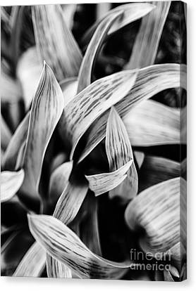 In The Garden _ Tulip Leaves Canvas Print
