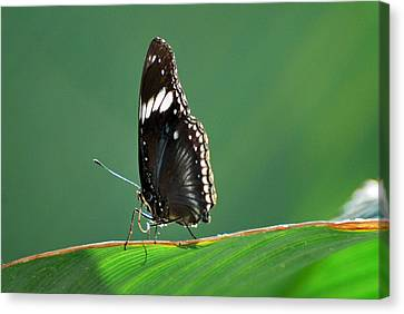 In The Limelight Canvas Print by Teresa Blanton