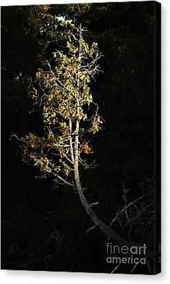 In The Spot Light Canvas Print by Larry Ricker