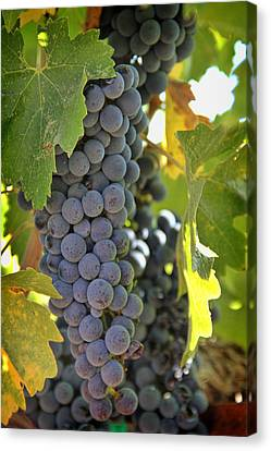 Pinot Noir Canvas Print - In The Vineyard by Nancy Ingersoll