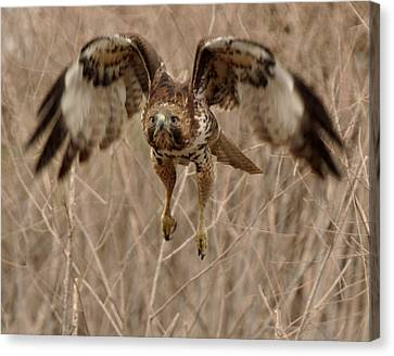 Inbound Red Tail Hawk Canvas Print