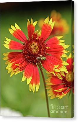 Canvas Print - Indian Blanket And Metallic Green Bee by Natural Focal Point Photography