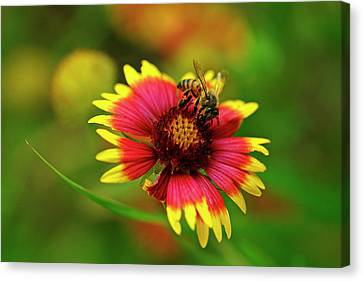 Indian Blanket Bee Canvas Print by Bill Morgenstern