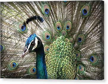 Indian Blue Peacock Puohokamoa Canvas Print by Sharon Mau