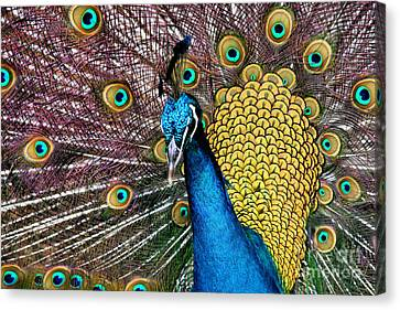 Indian Blue Peacock Canvas Print by Sharon Mau