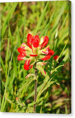 Indian Paintbrush Close Up Canvas Print