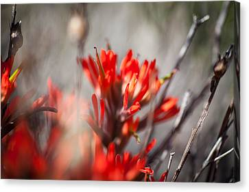 Indian Paintbrush Canvas Print by Del Duncan