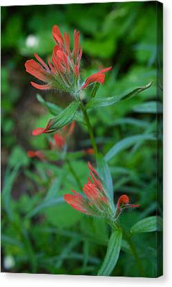 Indian Paintbrush Canvas Print by Todd Kreuter