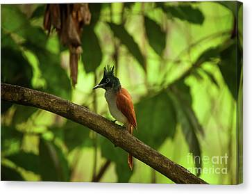 Indian Paradise Flycatcher Canvas Print by Venura Herath