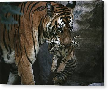 Indian Tigress, Sita, Moves Her Cubs Canvas Print by Michael Nichols
