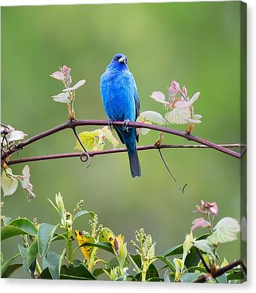 Indigo Bunting Perched Square Canvas Print by Bill Wakeley