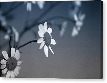 Indigo Daisies 1- Art By Linda Woods Canvas Print