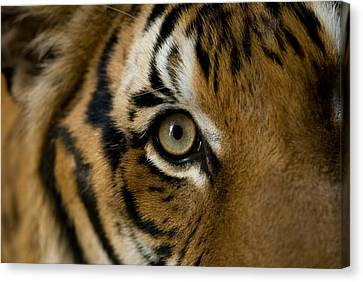Henry Doorly Zoo Canvas Print - Indochinese Tiger At Omahas Henry by Joel Sartore