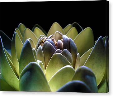 Indonesian White Lotus Canvas Print