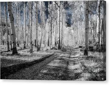 Infrared Aspens Canvas Print