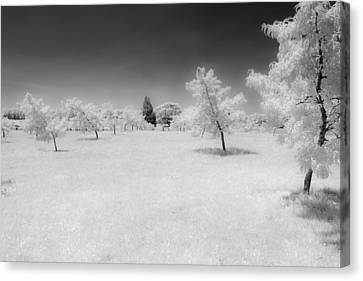 Infrared Peach Orchard Canvas Print