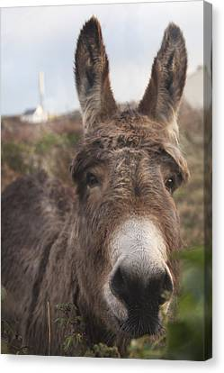 Inishmore Island Adorable Donkey Canvas Print by Betsy Knapp