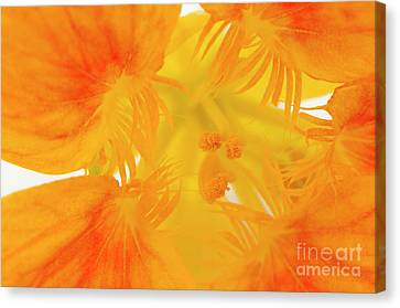 Inner Nasturtium Canvas Print by Anne Gilbert