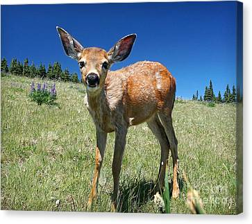 Inquisitive Blacktail Fawn Canvas Print by Martin Konopacki