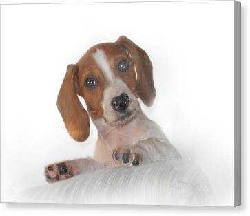 Canvas Print featuring the photograph Inquisitive Dachshund by David and Carol Kelly