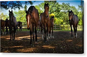 Inquisitive Horses Canvas Print