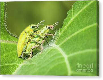 Canvas Print featuring the photograph Insect Mating by Tosporn Preede
