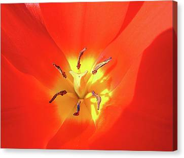 Inside Open Tulip Canvas Print by Richard Mitchell