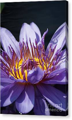 Intense Blue Water Lily   # Canvas Print by Rob Luzier