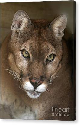 Intense Cougar Canvas Print