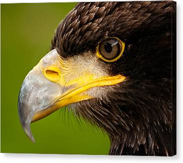 Intense Gaze Of A Golden Eagle Canvas Print