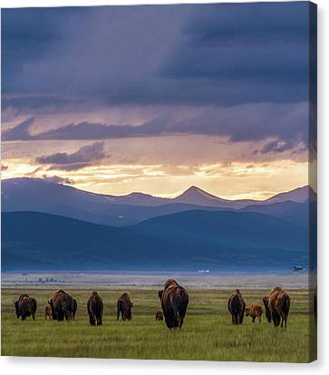 Buffalo Canvas Print - Into The Sunset by Chris Bordeleau