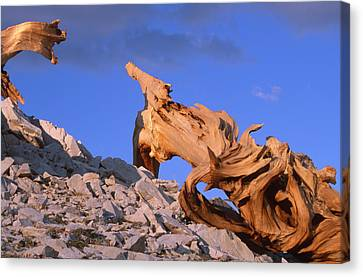 Intricacy Canvas Print by Soli Deo Gloria Wilderness And Wildlife Photography