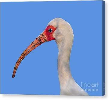 Canvas Print featuring the photograph Intriguing Ibis .png by Al Powell Photography USA