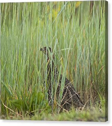 Canvas Print featuring the photograph Invisible Female Spruce Grouse by Daniel Hebard