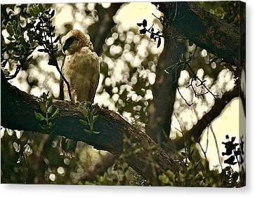 Io - Hawaiian Hawk Canvas Print