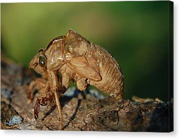 Iowa Cicada Canvas Print by Jame Hayes