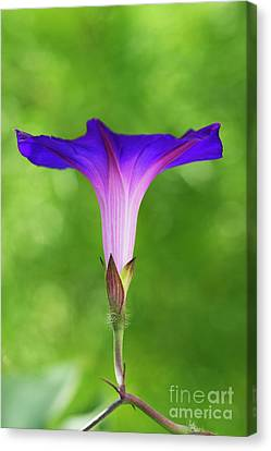 Ipomoea Morning Glory Grandpas Ott Canvas Print by Tim Gainey