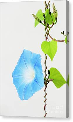 Ipomoea Tricolor Heavenly Blue Canvas Print by Tim Gainey