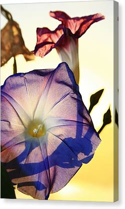 Ipomoea With Rising Sun Behind Canvas Print by Steven A Bash