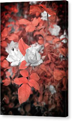 Ir Rose  Canvas Print