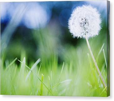 Ireland, County Westmeath, Dandelion In Meadow Canvas Print by Jamie Grill