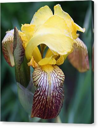 Iris 2 Canvas Print by Bruce Bley