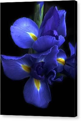 Iris At Dusk Canvas Print by Jessica Jenney