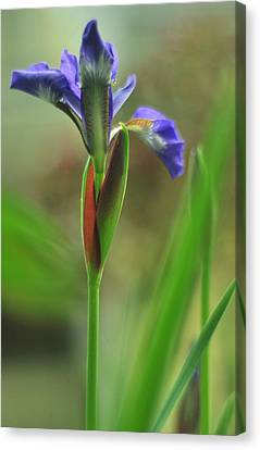 Iris Caesar's Brother Canvas Print by Rebecca Sherman